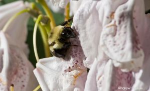 Bee resting on a flower by PrimalOrB