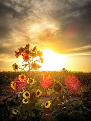 Sunflower Sunset by kuba2202