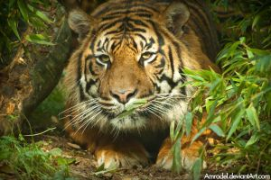 Dua the Sumatran Tiger by amrodel