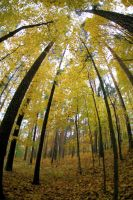 yellow autumn woods by KariLiimatainen