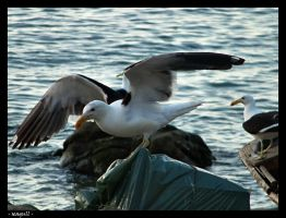 - seagull - by robertodecampos
