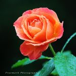 Confection Rose by TruemarkPhotography