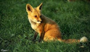 red fox at sunset by Yair-Leibovich