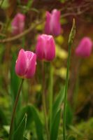 tulipa pink by cheah77