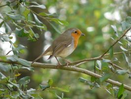 European robin by Clawfiren