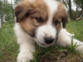 Stock 545 - Puppy Closeup by pink-stock