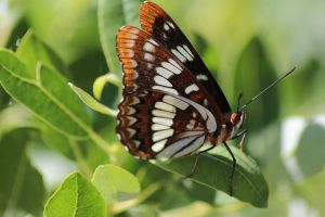 Lorquin's Admiral Butterfly - 1 by myekeh