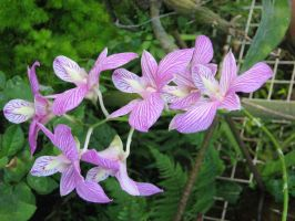Violet Orchids by lambsfoot