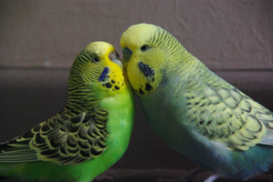 Budgie Love by somenightowl