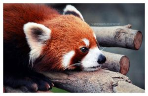 Red Panda: i'm bored.. by no-photography