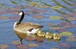 the first days of the Canadian wild geese No.6 by MT-Photografien