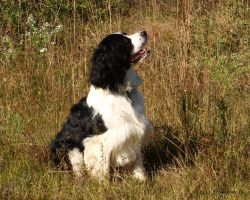 A Beautiful Springer Spaniel by natureguy