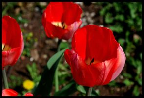 Red Tulip I by Cwen-Natulcien