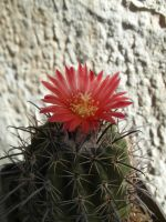 Cactus (Ps) with 1 red flower (14 08m 29) #59 by UAkimov09