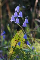 Harebells by perost
