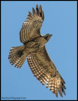 Red-tailed Hawk by AirshowDave