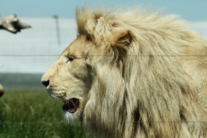 White lion profile by James-Marsh