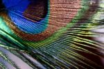 Macro shot of peacock feather. by LubelleCreativeSpark