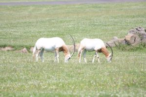 Wild White Deer of Some Sort by MAKENNAW12