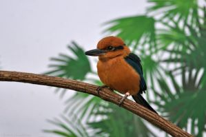 Micronesian Kingfisher 2825 by robbobert
