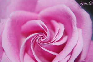pink rose by amna-alq