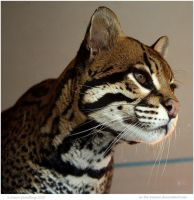 Alert Ocelot by In-the-picture