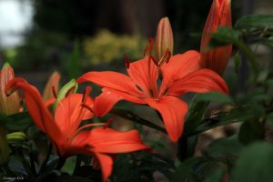 Asian lily by George---Kirk