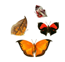 butterflies png by camelfobia