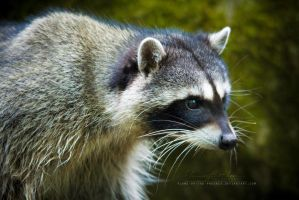 Raccoon: Focus by Flame-of-the-Phoenix