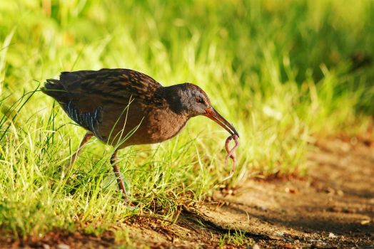 Virginia Rail VS Worm by Kintarotpc