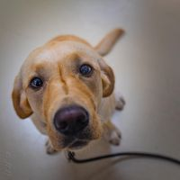 Yellow lab by Jed117
