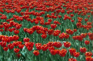 Orange Red Tulips by Photos-By-Michelle