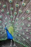 Peacock by pinknfuzzy4711