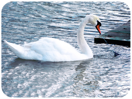 Graceful swan by Silvia-Pp