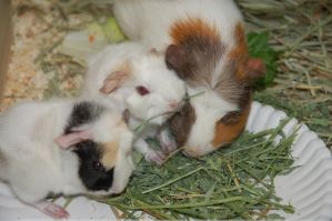 My Guinea Pig and the Babies by butterbagel