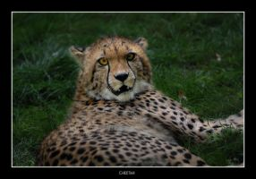 Cheetah Stare by Dr-Koesters
