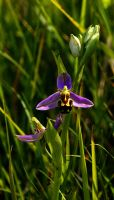 bee orchid by awjay