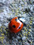 little.ladybird by pollyXrockett