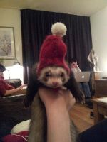 Made my Ferret a hat by Roozke112