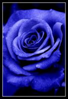Blue Rose by orangebolster
