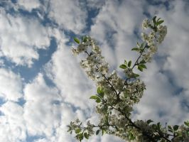 Stock 12 - Cherry blossoms in the sky 1 by MariaBilinski