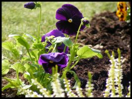 Proud Pansy by Kaysusanelliott