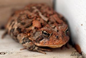Red Toad by cheslah
