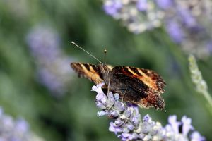 Aglais urticae by chtijerome