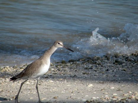 Dowitcher 2 by moreMDM