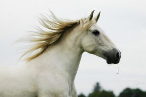 Andalusian Mare by Blashina