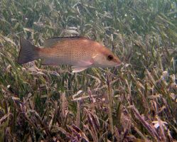 Fish - Gray Snapper 3 by Lauren-Lee