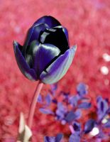 The Magic Tulip by Forestina-Fotos