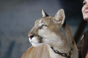 Florida Panther by Ola810
