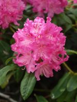 Rhododendron by kdiff3